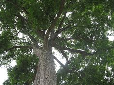 the texas state tree pecan tree