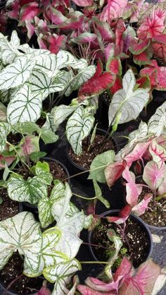 Add texture to that shady spot with Caladiums!