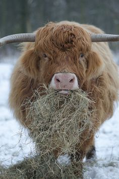 theanimaleffect:  cow + beard by MBoom on Flickr.