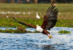 Types of Eagles in The World - Eagles are admired the world over as living symbols of power, freedom, and transcendence. There are more than 60 different species of Eagles. Types Of Eagles, Wetland Park, African Wild Dog, Game Reserve, Wild Dogs, Kenya, Bald Eagle, Wildlife, Birds