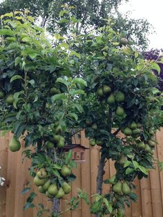 #awesomeaugust my pear tree in the month of August, almost ripe