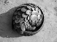 PANGOLIN CURL | PALF ENFORCEMENT — Patternity