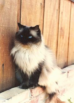 Ragdolls are the most beautiful cats ever