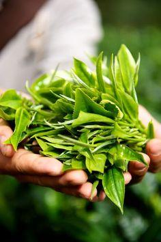 Китайский чай набережные челны | Растения, Чай, Камелия