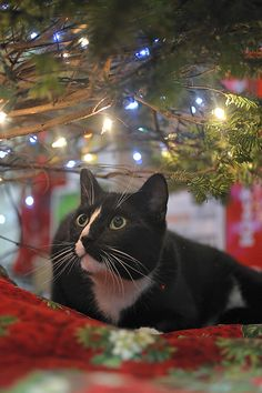 I've never seen a tree in the house with twinkle lights on it but I love it!  It's just like being outdoors.  Think I should climb it?