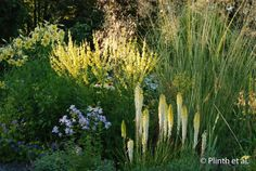 Kniphofia 'Little Maid' up against Stipa gigantea, w/ Verbascum, and Lilium 'Concha d'Or'. Blue geranium at their feet with a white echinacea and something lavender. Herbaceous Perennials, Flowers Perennials, Perennial Plant, Rustic Gardens, Outdoor Gardens, Blue Geranium, Stipa, Xeriscaping, My Secret Garden