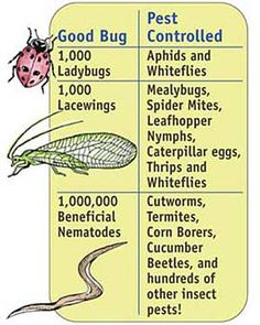 Beneficial Bugs Include three species of efficient pest eaters that (unlike chemical controls) won't harm plants, earthworms, or humans. Garden Bugs, Garden Insects, Garden Pests, Garden Shrubs, Organic Gardening, Gardening Tips, Vegetable Gardening, Cucumber Beetles, Insect Pest