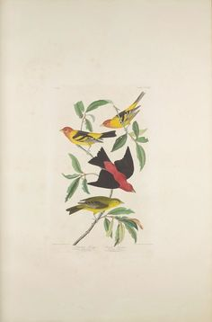 """The Birds of America, Plate #354: """"Louisiana Tanager and Scarlet Tanager"""", John James Audubon, 1827–1838, Transfer from the North Carolina State Library"""