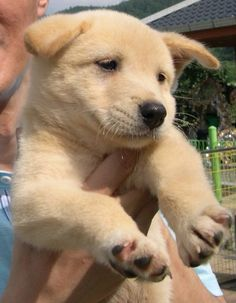 Korean jindo dog...just watched Cesar Milan, had one of these in an episode and we now think we know Beckett's breed