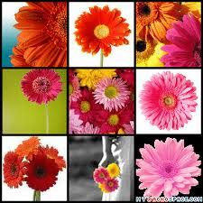 Gerber Daisy... my other favorite flower