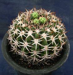 Gymnocalycium mostii ssp. ferocior