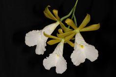 Prosthechea mariae (syn Encyclia mariae) -  Flickr - Photo Sharing!