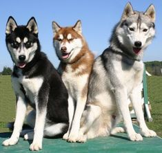 The Siberian husky. An article that touches on the intelligence of the breed, dealing with husky stubbornness and the inevitable need for intense recall training. Siberian Husky Names, Siberian Huskies, Big Dogs, Cute Dogs, Dogs And Puppies, Beautiful Dogs, Animals Beautiful, Cute Animals, Cutest Animals