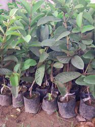 We are delighted in introducing ourselves as the most important organizations, affianced in offering Guava Grafted.
