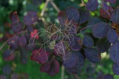 The flowers are insignificant, but their effect is of a general fluff around the darkness of Cotinus After flowering, the #Smoke #Bushlower #Skeletons linger. The smoke bush works hard at every stage as a foil for other colors: it flatters everything.
