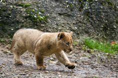 Li'l lion