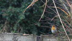 #roodborstje #vogel #bird http://fotografie.akire.nl