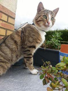 Yatouli, mâle, environ mai 2013 Les Pachas Association Protection féline Rennes (adoption chat)