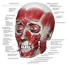 мышцы лица анатомия - Поиск в Google