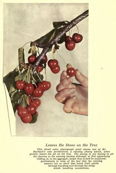 Luther Burbank: Cherry Leaves Stone on the Tree Cherry Leaf, Agricultural Science, Luther, Poppies, Cactus, Daisy, Leaves, Fruit, Stone