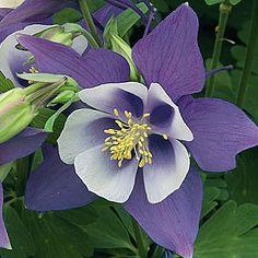 AQUILEGIA~ORIGAMI BLUE~CLEMATIS-LIKE FLOWERS,FERN-LEAF SHADE PLANT GROWING