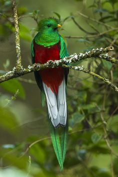 Resplendent Quetzal male - Cloud Forest in Costa Rica. Rare Birds, Exotic Birds, Colorful Birds, Most Beautiful Birds, Pretty Birds, Bird Pictures, Nature Pictures, Costa Rica, Tropical Animals