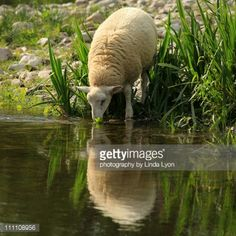 http://media.gettyimages.com/photos/drinking-sheep-picture-id111108956?s=170667a