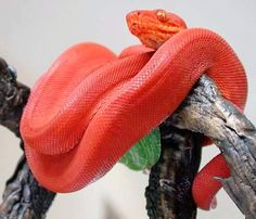The most beautiful snake in the world Spiders And Snakes, Scary Snakes, Cool Snakes, Colorful Snakes, Pretty Snakes, Beautiful Snakes, Beautiful Creatures, Animals Beautiful, Cute Animals