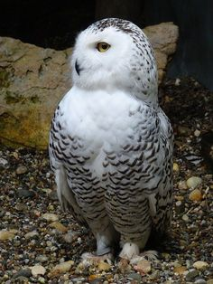 Free Pictures, Free Images, Hedwig, Snowy Owl, Friends, Animals, Amigos, Animaux, Boyfriends