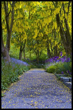 "sunsurfer: "" Laburnum Walk, Van Dusen Botanical Garden, Vancouver, B. photo by Eric Flexyourhead "" Baby, lets go here! Beautiful Landscapes, Beautiful Gardens, Roses Photography, Yellow Photography, Jardin Decor, Beautiful Places, Beautiful Pictures, Art Floral, Pathways"