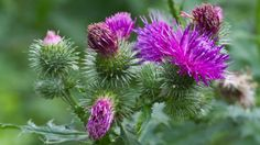 We have been waiting a long time for this product and now it& finally here! This is a non-GMO vegetable rennet made entirely from dried thistle flowers. Thistle Flower, Milk Thistle, Green Flowers, Summer Flowers, Types Of Diseases, Dog Milk, Food For Digestion, How To Make Cheese, Drink