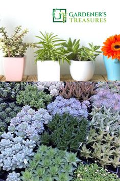 Buy Succulents Online Australia - Succulent plants and cactus for sale. Find a variety of succulents (Echeveria, Aloe, Senecio, Pachyphytum, Haworthia, Cotyledon, Crassula and Kalanchoe), Take a look at our colorful and exclusive range of quality plants for indoor plants at the best prices.