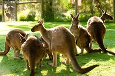 Kangaroos enjoying the sun at Healesville Sanctuary
