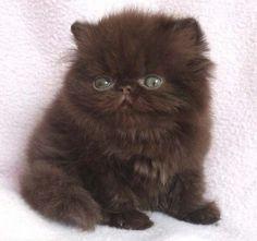gatos persas (5)