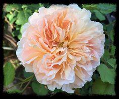 David Austin's Tea Clipper rose - amazing!!