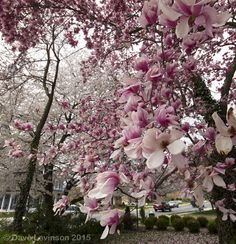 Magnolias blooms spill onto Main Street in Purcellville. What a beautiful spring we're having!