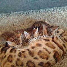 Joel bengals kittens