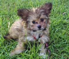 Fenway the Papillon Mix puppy - mixed breed pups are always so cute