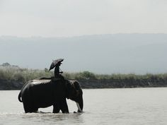 River Crossing, Mahout riding an elephant into Chitwan National Park, Nepal by stelih