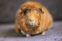 The Guinea Pig Daily: Merida