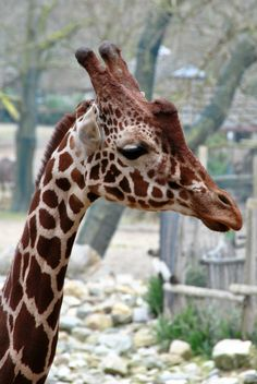 Giraffe - Rotterdam Zoo Blijdorp