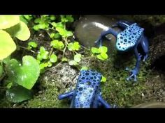 Blue Poison Arrow Frogs (Dendrobates azureus) eating fruit flies. It is a species of poison dart frog found in the forests surrounded by the Sipaliwini savannah, which is located in southern Suriname and northern to central Brazil. (3:36)