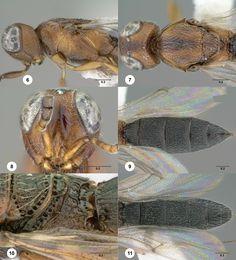 Oxyscelio bicolor (Szabó)