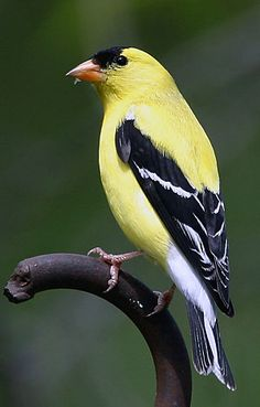 American Goldfinch Habitat: Open areas like yards, fields, fencerows and groves. Diet: Seeds and berries. Backyard Favorites: Supply nyjer (thistle) in a tube feeder with multiple ports, or in a nylon stocking.