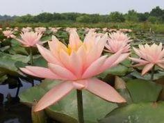 Hardy Water Lily Peach/Salmon Colorado