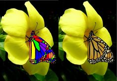 """Rainbow butterfly"" (left) - 'Photoshopped' Monarch butterfly (It's not even made with Photoshop, it's made with paint.) - Danaus plexippus (Right)"
