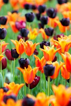 Spring Combination Idea: Tulip Queen of Night, Tulip Ballerina, and Tulip Jan Reus,