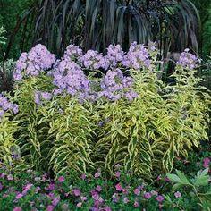 Phlox paniculata 'Shockwave' Shockwave Tall Garden Phlox from Prides Corner Farms