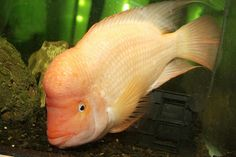Red Devil Cichlid, i've had one of these in the past aggressive little buggars