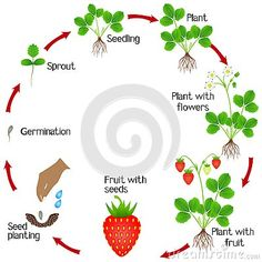 Life cycle of a strawberry plant on a white background, beautiful illustration. Strawberry Plants, Fruit Plants, Sequencing Activities, Kids Learning Activities, Cycle Drawing, Orange Plant, Agriculture, Kids Poems, Pepper Plants